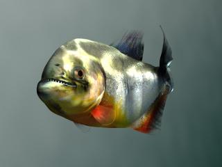 Piranha Closeup (Passing Left) (Image Credit: Doringo)