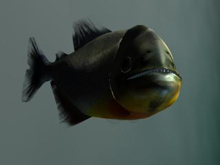 Piranha Closeup (Shadow Angle) (Image Credit: Doringo)